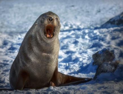Sea Lion boca abierta_MG_2566.jpg