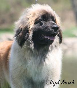 Our Dogs | Kalahari Leonbergers