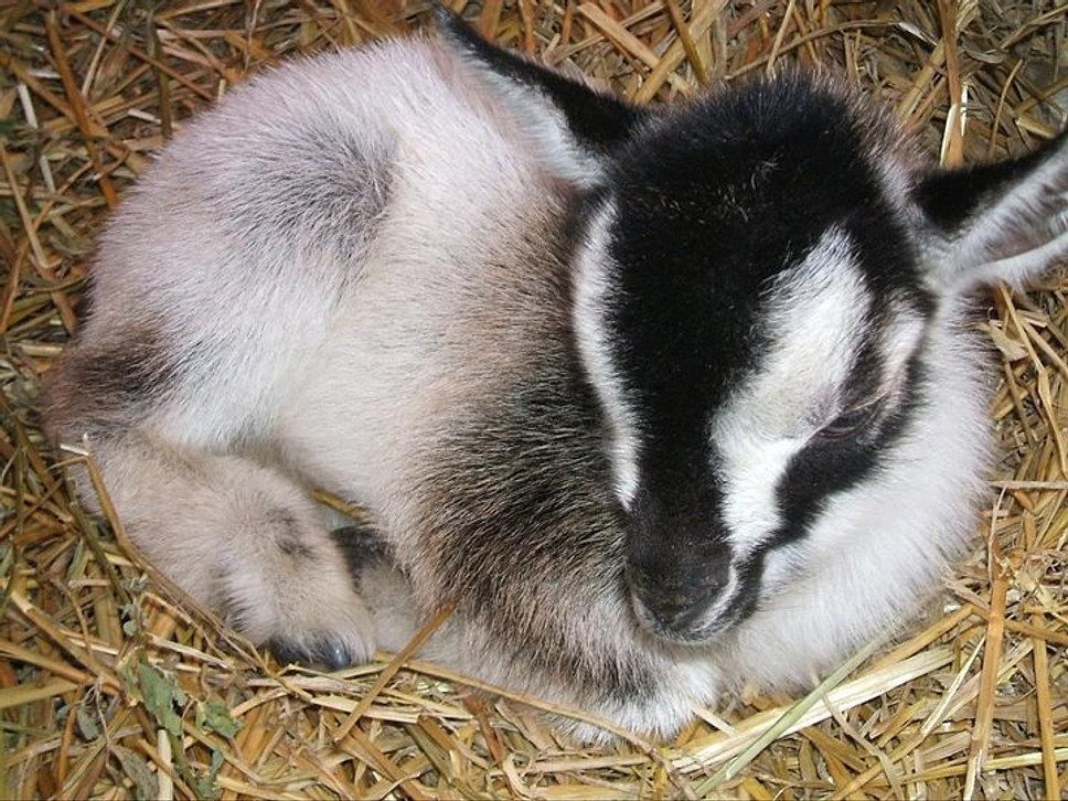 Super Beards Tales Farm Nigerian Dwarf Goats Hairstyles For Men Maxibearus
