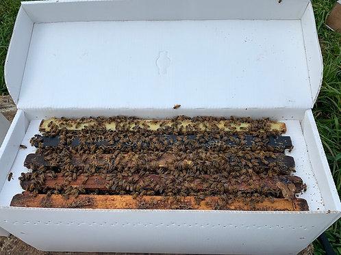 AUSTIN PICKUP - NUC of BeeWeaver Local Survivor Bees