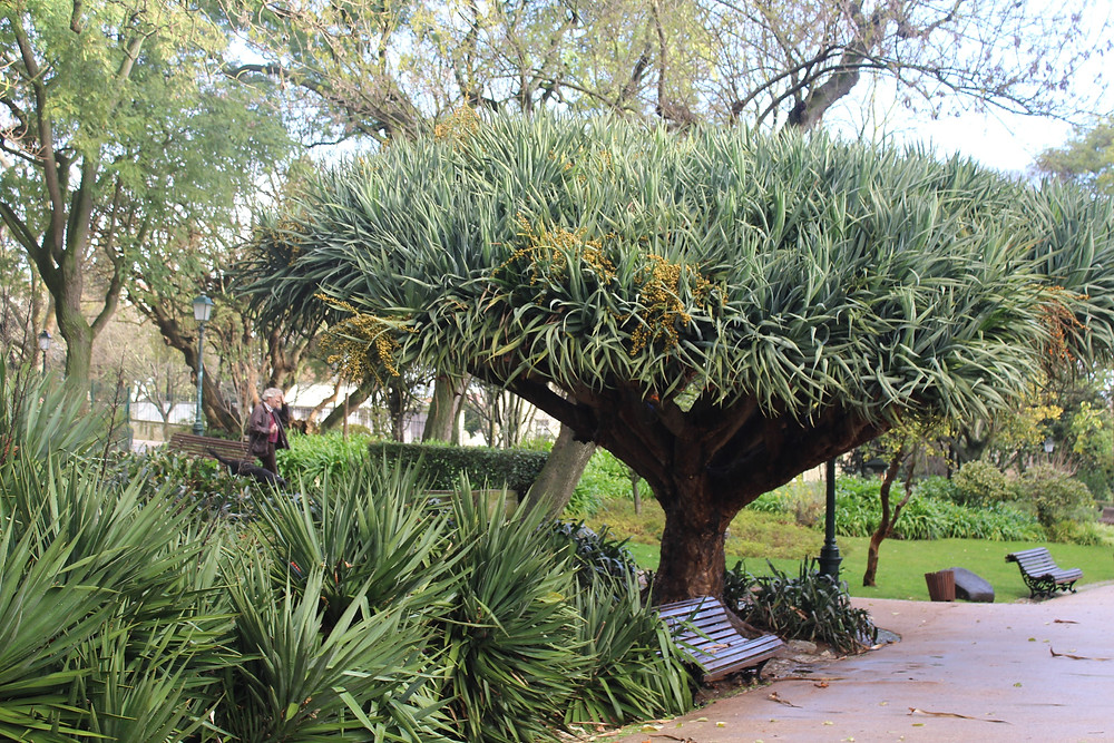 exotic tree at Estrela Garden in Lisbon