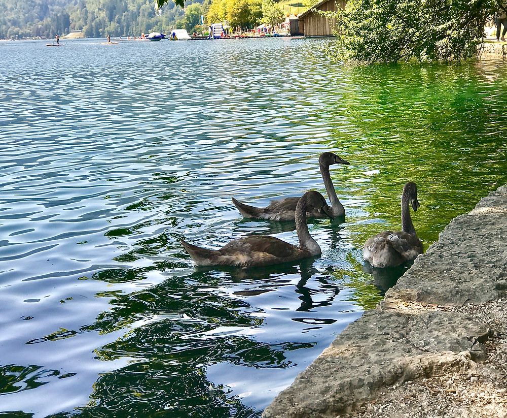 As if Bled isn't picturesque enough, cue the swans
