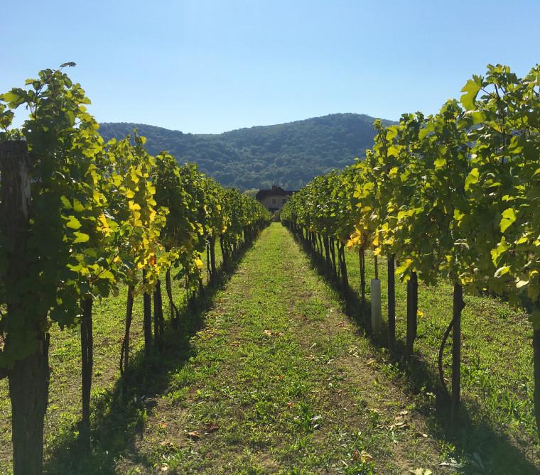 vineyards in the Wachau Valley