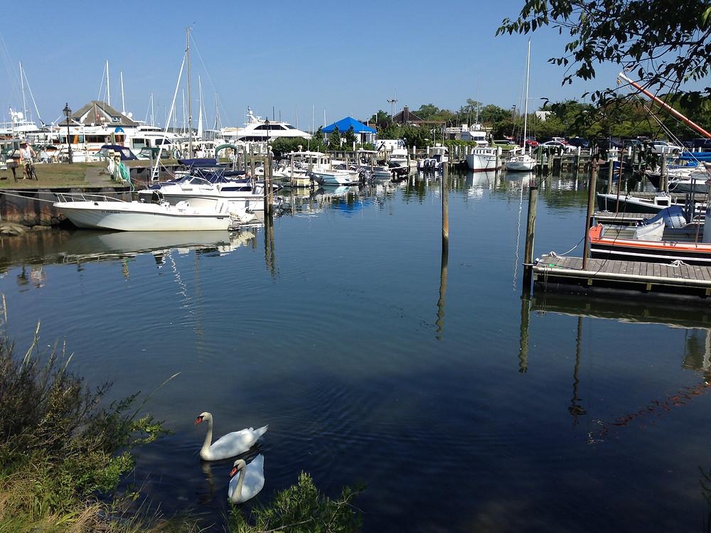 swans and boats in Sag Harbor NY