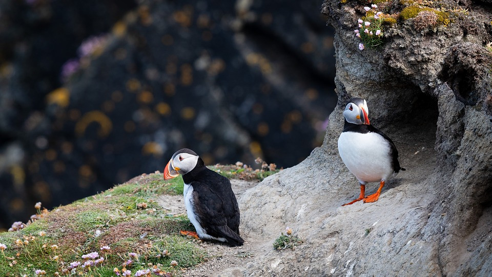 puffins on the high cliffs