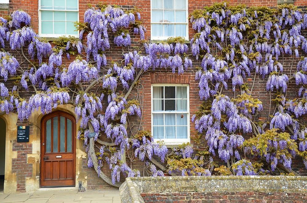 gorgeous wisteria at Hampton Court Palace