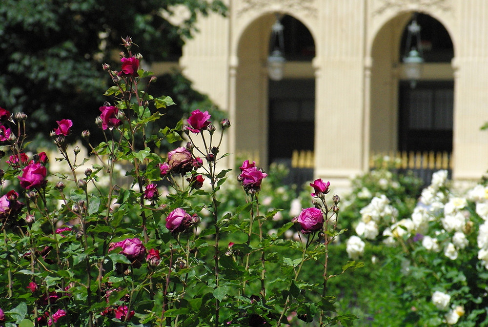 roses in the Palais Royal Gardens