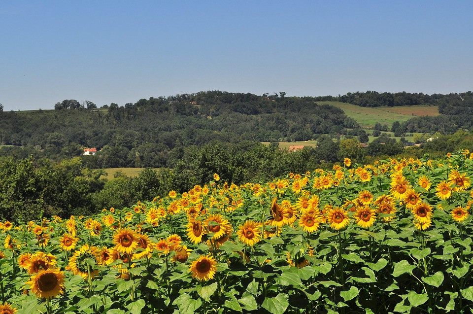 sunflowers in the beautiful Occitanie region of France