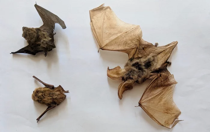 pipistrelle bats in Joanina Library. image source: smithsonian.com