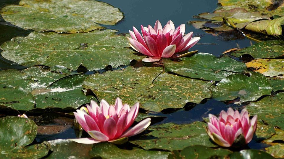 lilies in the Water Garden