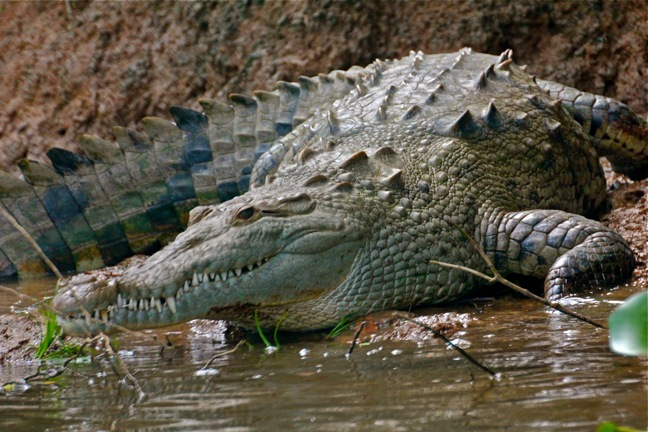 a crocodile in Corcovado Park