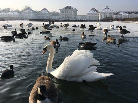 swans glide at Munich's Nymphenburg Palace