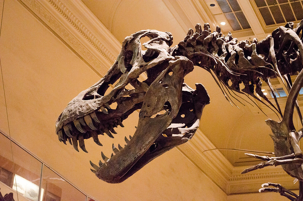 head of a Tyrannosaurus Rex in the Museum of Natural History