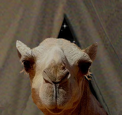 proverbial camels nose under the tent, a portent of things to come