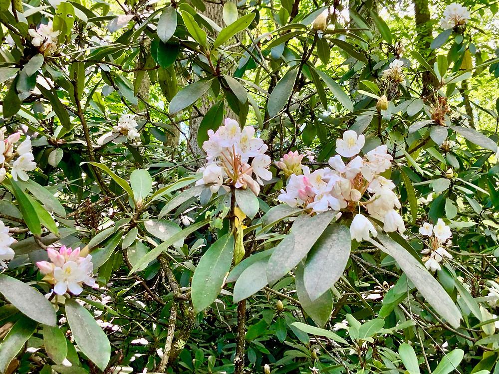 beautiful rhododendrons surrounding Fallingwater