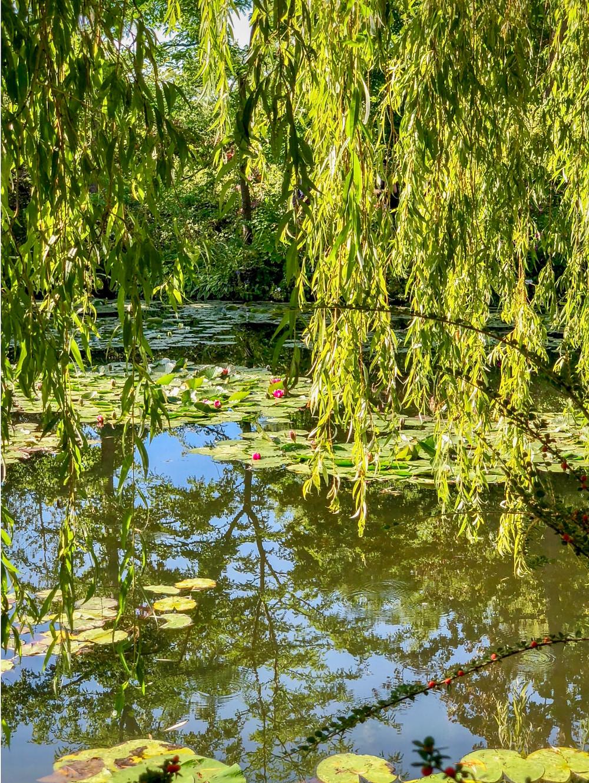 weeping willows in Monet's Water Garden