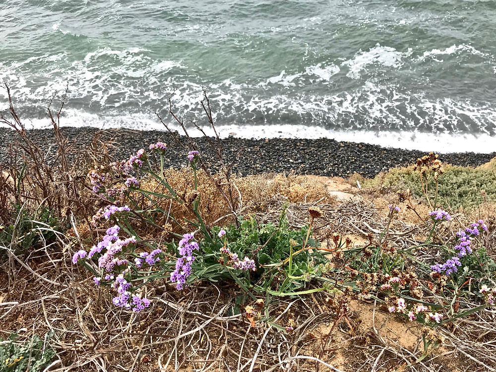 wildflowers along the coast of La Jolla