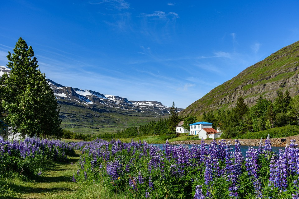 "lupines creating the ""purpleness"" of Iceland"