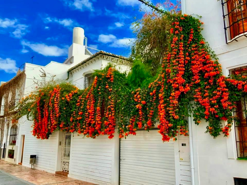 an amazing vine growing over the homes in Nerja Spain