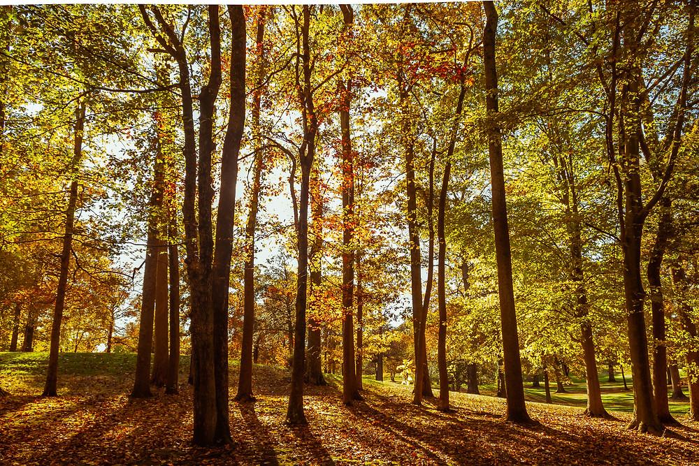 golden fall colors in Burke Lake Park in Virgina
