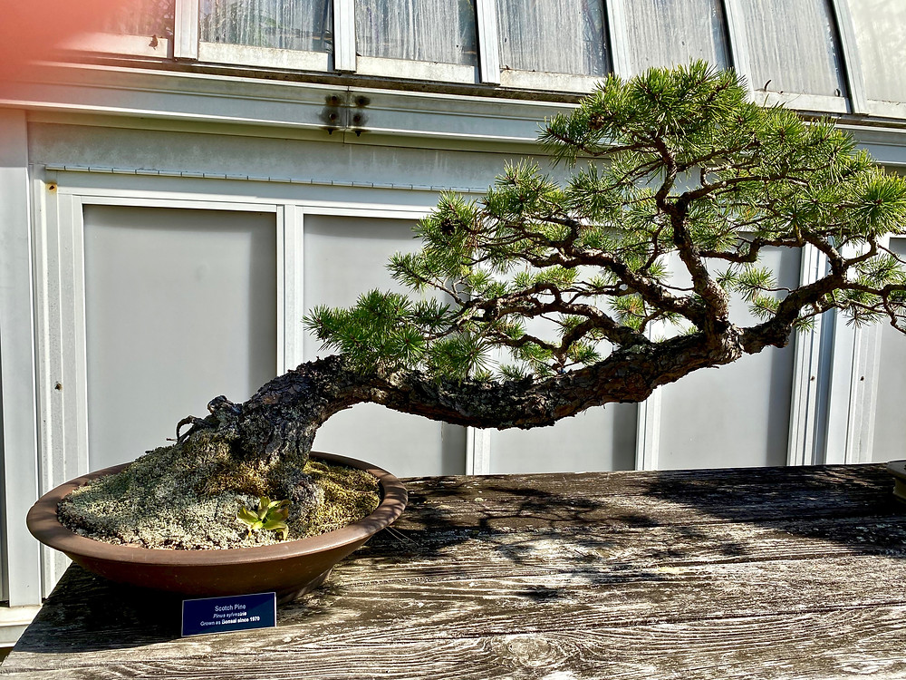 slanting Bonsai plant in the Serpentine Room of the Phipps