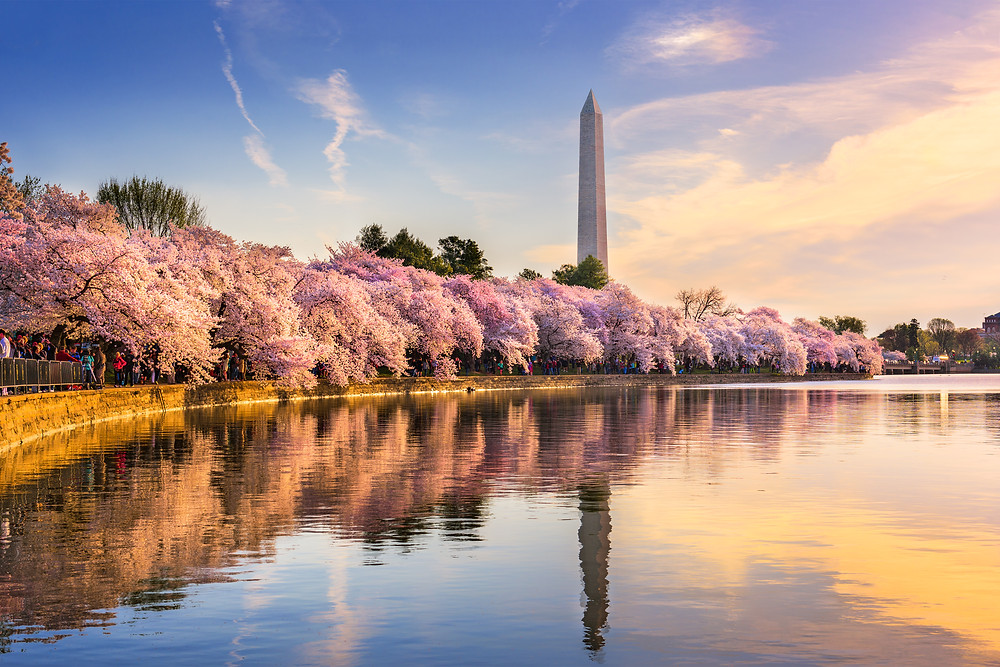 cherry blossoms along the tidal basin with Washington Monument  as a backdrop