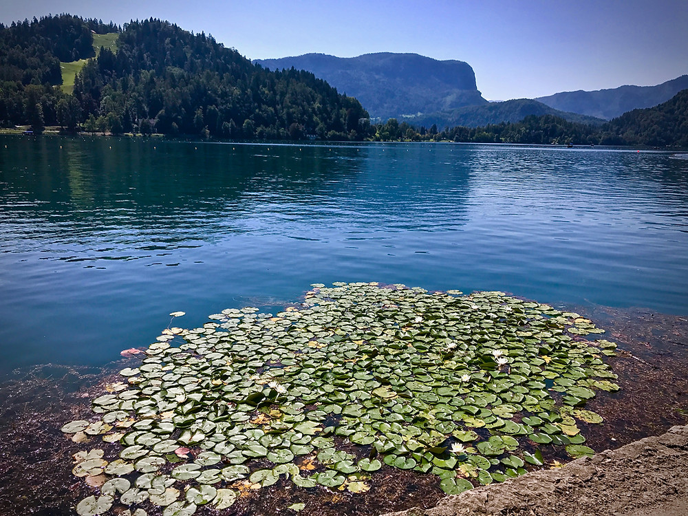 water lilies on Lake Bled in Slovenia