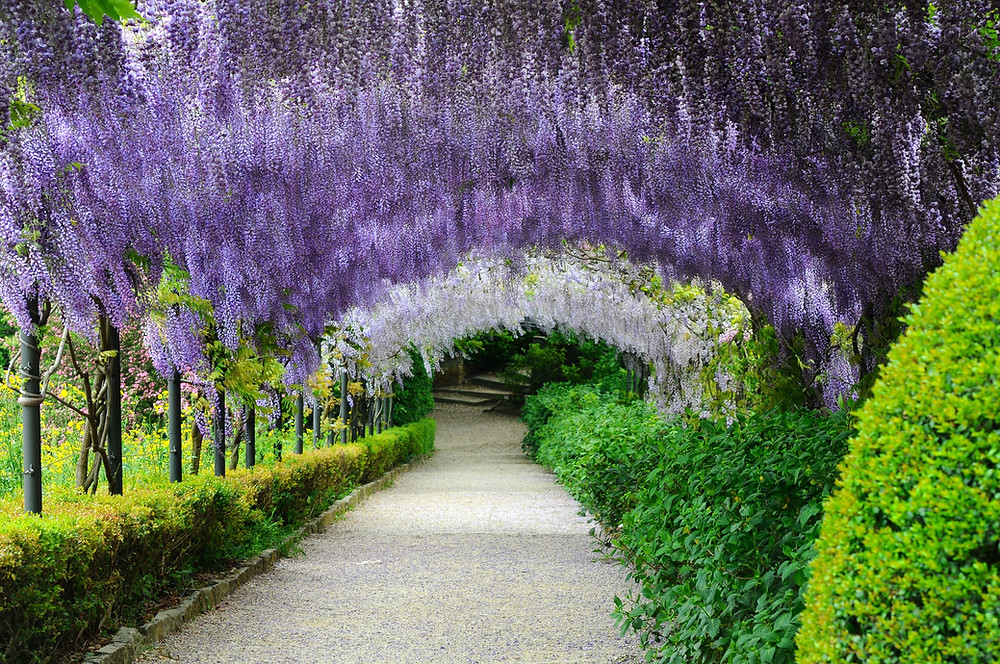 Wisteria Tunnel at the Bardini Gardens in Florence