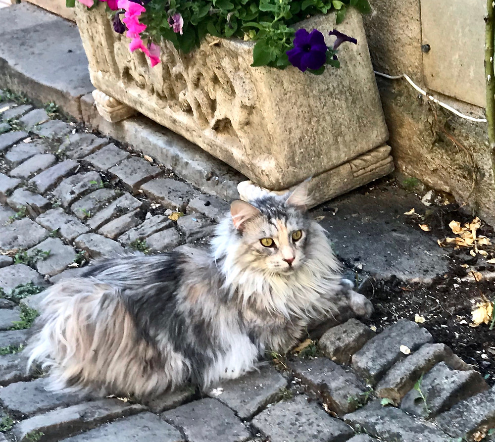 a beautiful main coon on the cobbled streets of Cordes Sur Ciel.