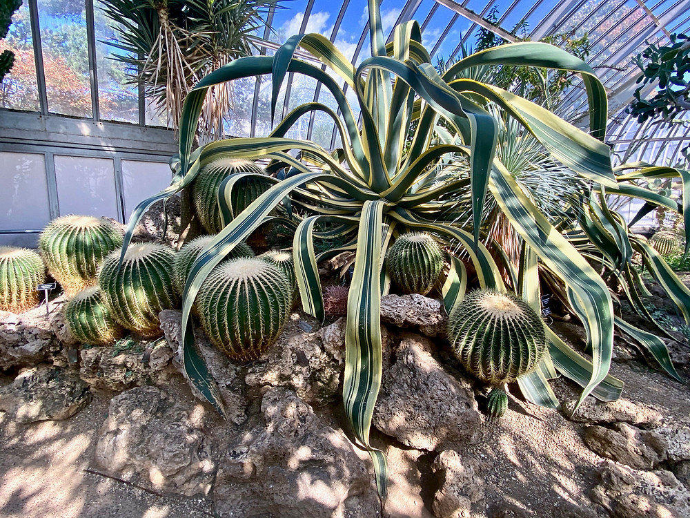 Century plant in the Desert Room of the Phipps