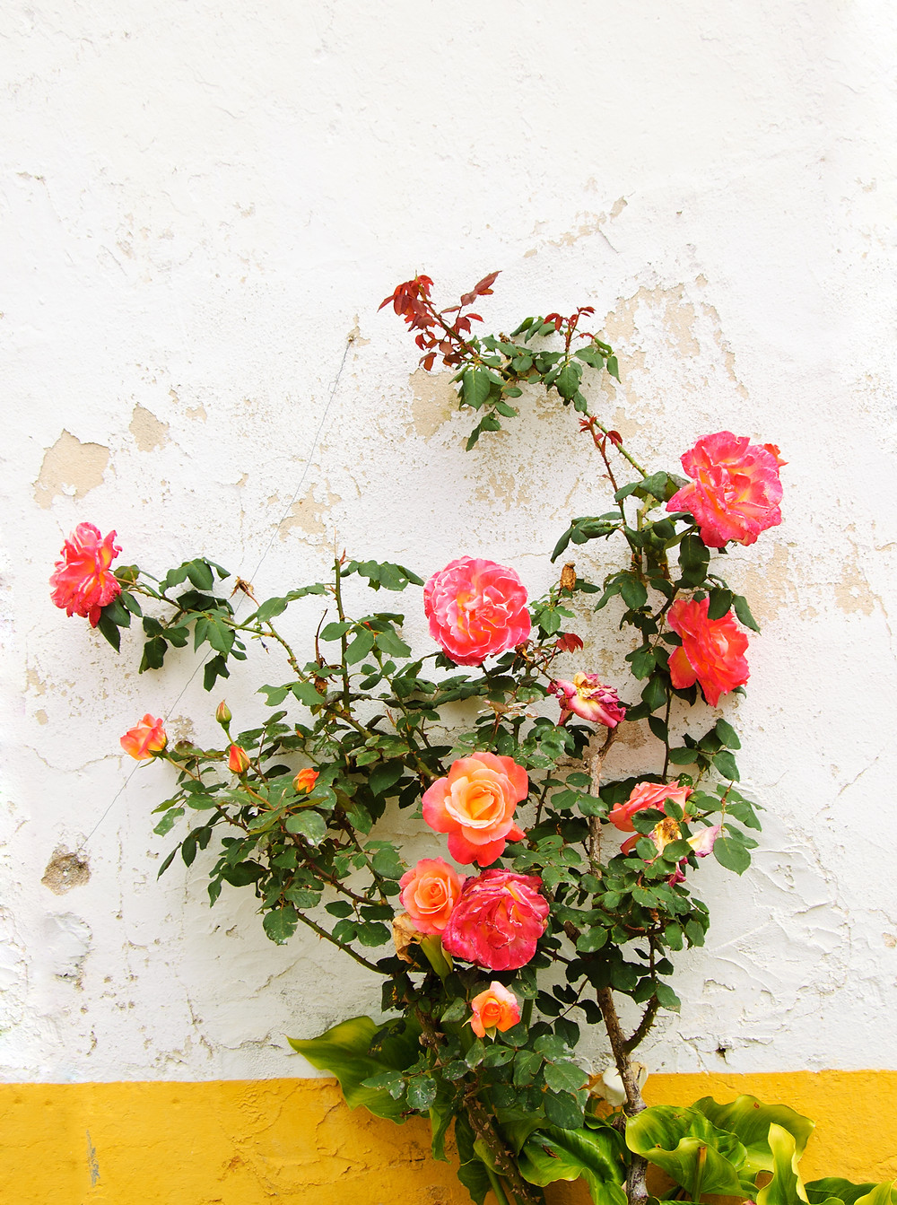 roses on a yellow trimmed wall in Obidos Portugal