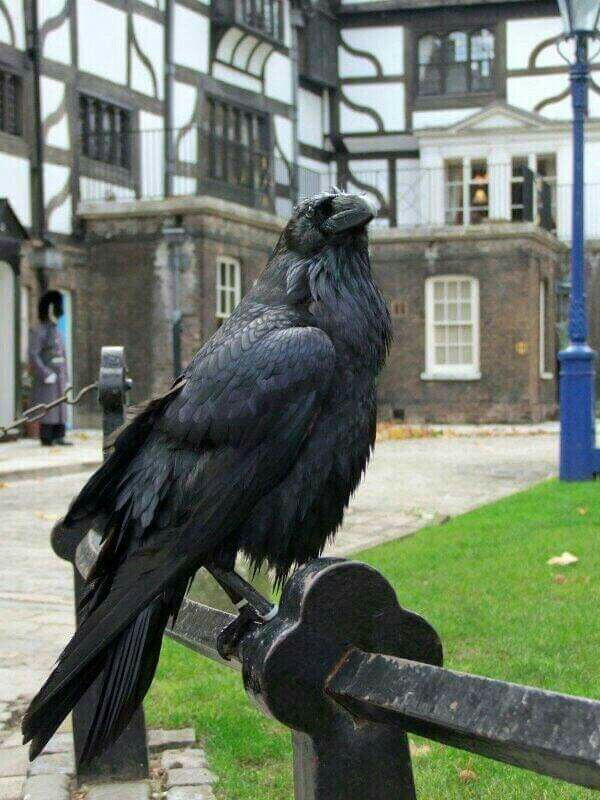 one of the Tower's apparently magical ravens
