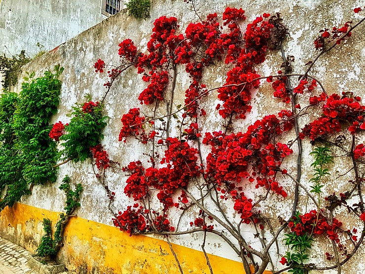 bougainvillea on the rustic painted walls of Obidos