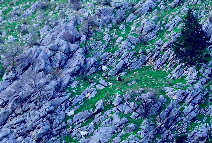 goats on the mountains of Kotor Montenegro
