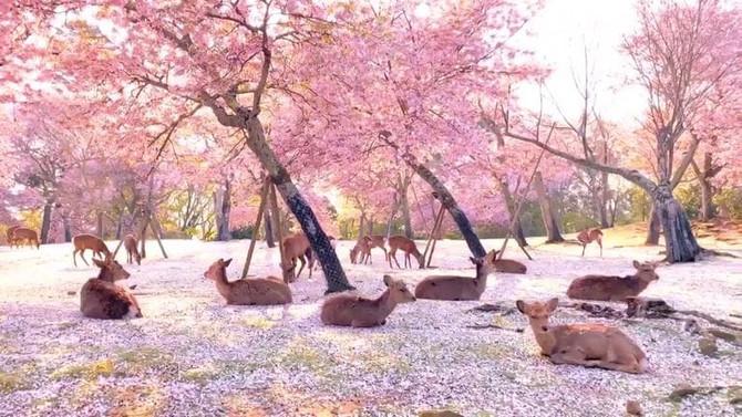 Los ciervos descansan bajo los cerezos en flor en Japón. Олени отдыхают под цветущими вишнями Японии