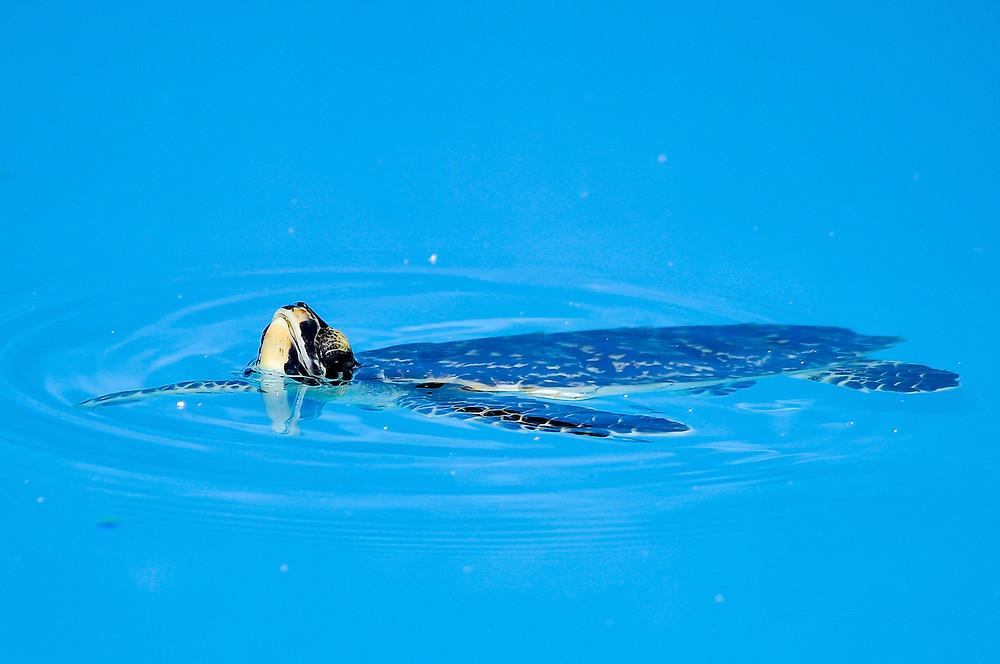 Schildkröte in der Nähe des Coco Palm Dhuni Kolhu auf den Malediven