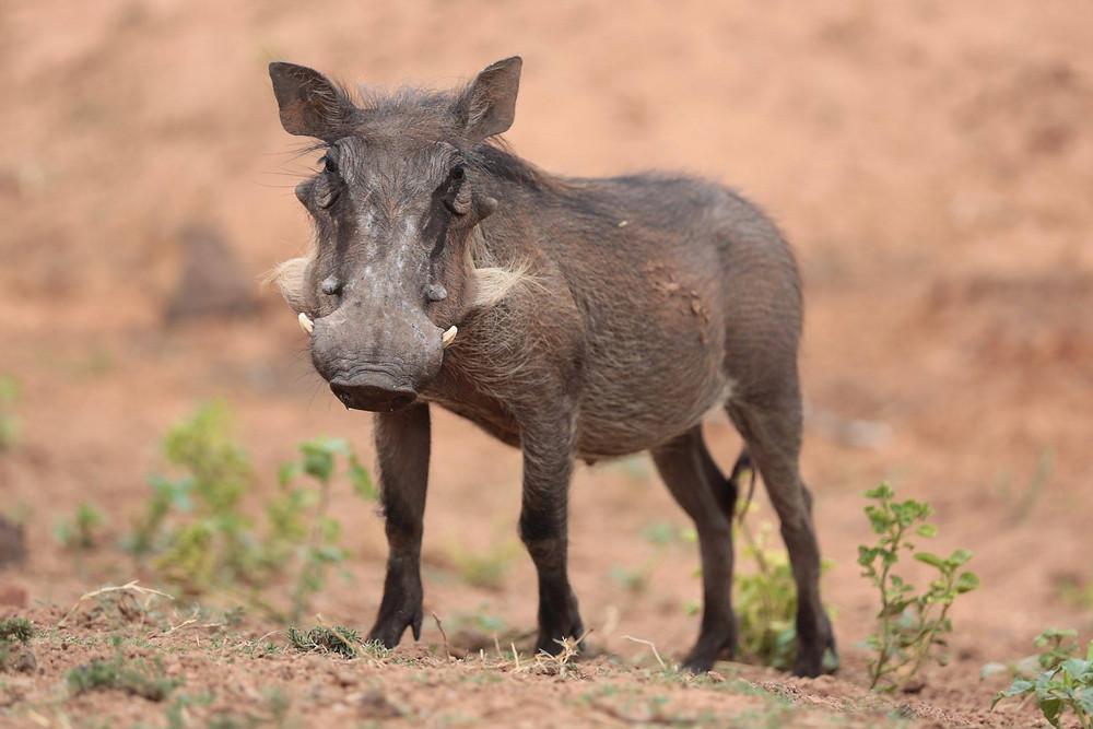 Traum eines Warzenschweins in Namibia