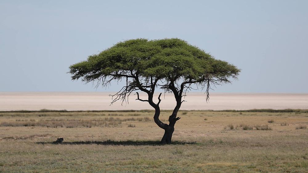 Raubtiere-Ruhepause in Namibia am Chudop und Kalkheuwel Wasserloch
