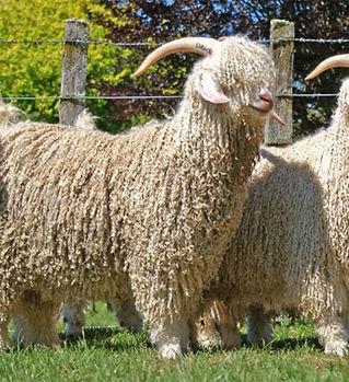 mohair goat.jpg