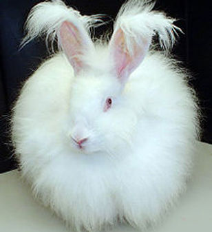 angora bunny.jpg