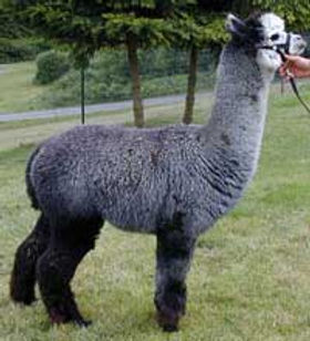 gray alpaca