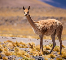 Vicunas are generally living as a herd b