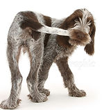 24900-Spinone-pup-chasing-and-catching-h