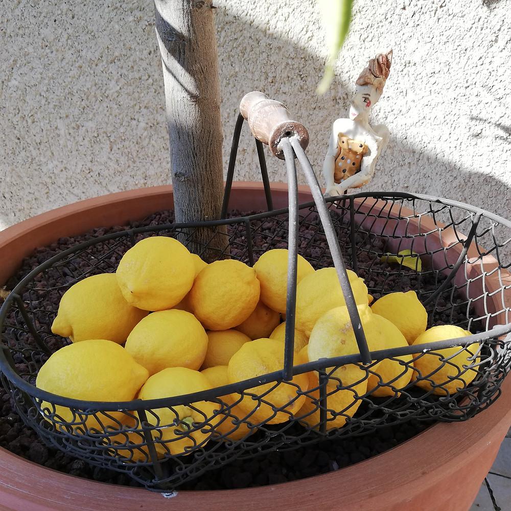 Nous avons la chance d'avoir un citronnier dans notre cour