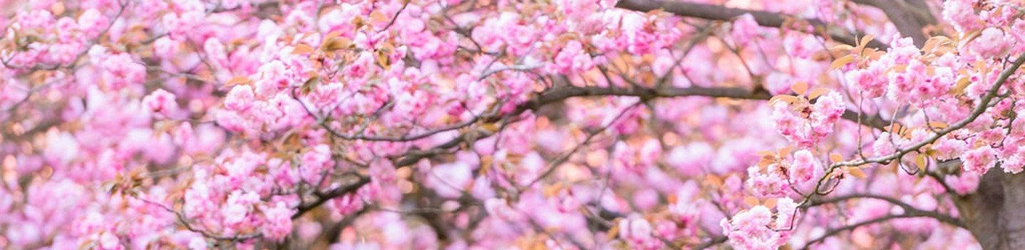 sakura_edited.jpg