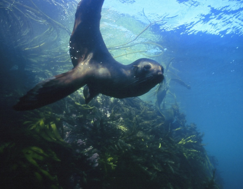 Swimming with fur seals in New Zealand