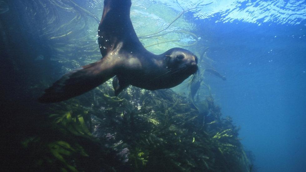 Плавание с морскими котиками, Кайкоура, Новая Зеландия. Туры в Новую Зеландию. Экскурсии в Новой Зеландии.