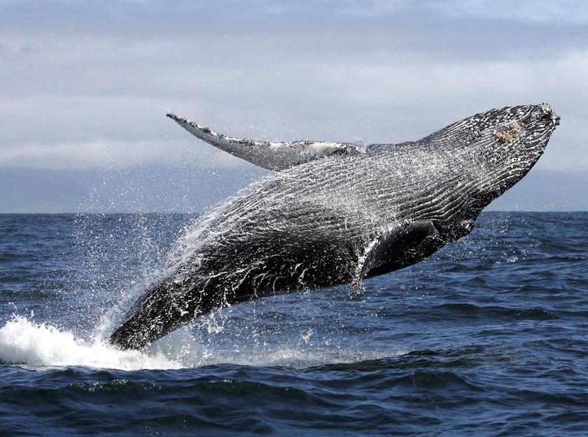 Наблюдение за китами с вертолёта (30 мин), Кайкоура. Экскурсии в Новой Зеландии.