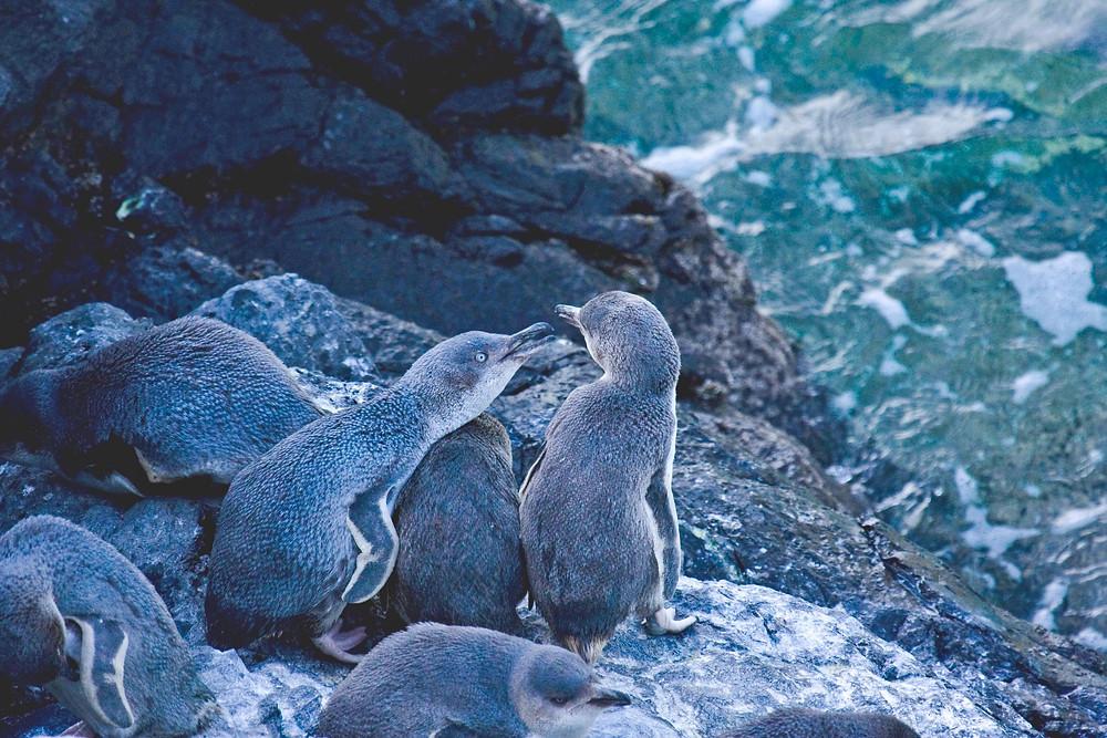 Голубые пингвины, Акароа, Новая Зеландия. Туры в Новую Зеландию.