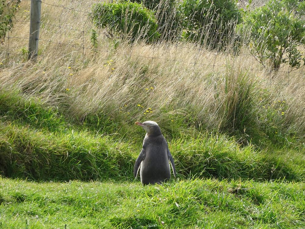 Желтоглазый пингвин, Данидин, Новая Зеландия. Туры в Новую Зеландию. Гид в Новой Зеландии.